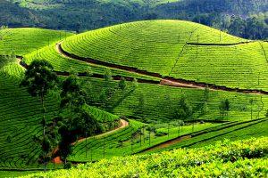 Plantatie de ceai, Darjeeling