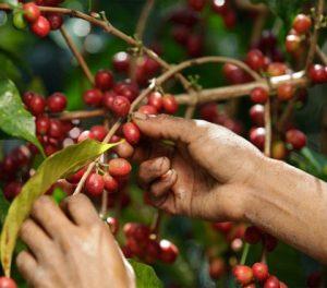 Recoltarea cireselor de cafea